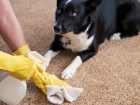 cleaning-pet-stain