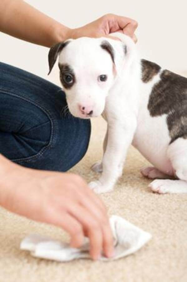 Tips For How To Clean Dog Pee Out Of Carpet Cleanthiscarpet